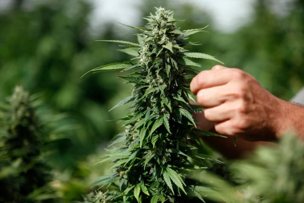 Medyczna Marihuana a Farmaceutyki: Jaka Jest Różnica?, KonopiaLeczy.com