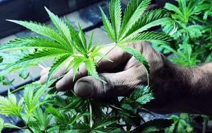 5 potężnych roślin leczniczych na świecie, KonopiaLeczy.com