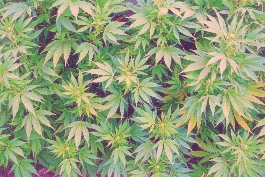Chorzy na jaskrę potrzebują lepszej edukacji na temat marihuany, KonopiaLeczy.com