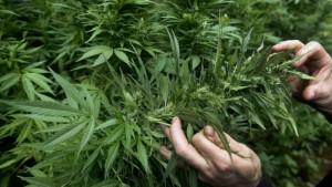 marihuana-w-polsce-popularna
