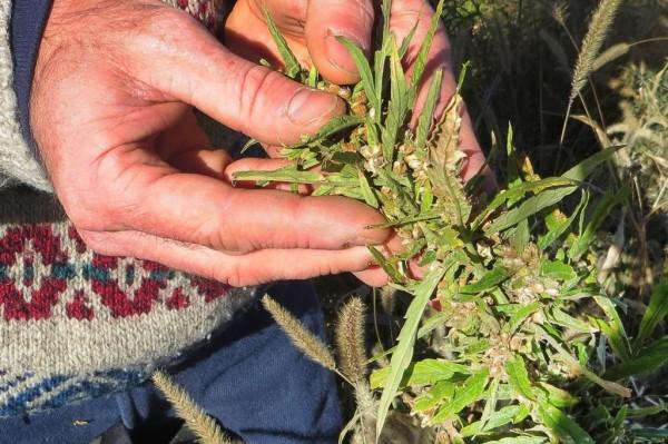 Pacjenci jednak mogą uprawiać medyczną marihuanę w domu, Kanada, KonopiaLeczy.com