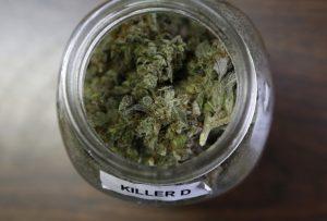 marihuana-medyczna-w-sloiku-roslina