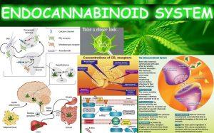 uklad-endokannabinoidowy-obrazek-jak-dziala
