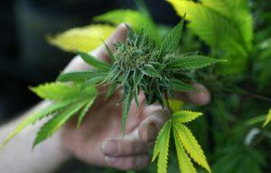 zielona-roslina-marihuana-marihuana-tak-wlasnie-wyglada-gdy-rosnie