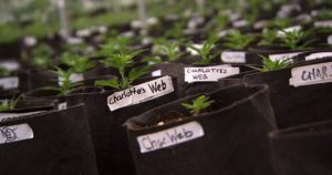 marihuana-medyczna-marihuana-cbd-cbd-medyczna-marihuana-rosnie-w-doniczce