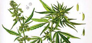 Informacje dotyczące statusu prawnego konopi i marihuany, KonopiaLeczy.com