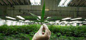 medyczna-marihuana-lisc-i-uprawa-medycznej-marihuany-zaklad-fabryka-pomieszczenia-nasiona-marihuany