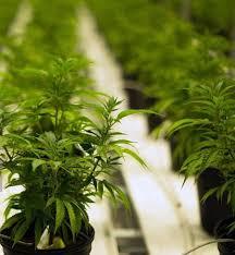 Medyczna marihuana w USA, KonopiaLeczy.com