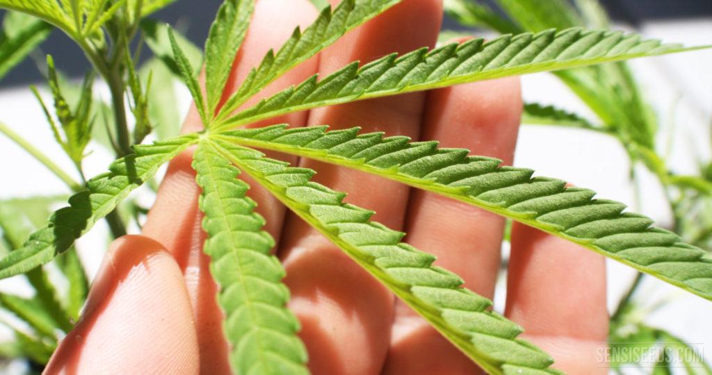 Niezawodne Odmiany Marihuany, KonopiaLeczy.com