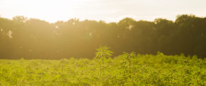 Nowozelandczycy mogą wkrótce głosować na temat cannabis..., KonopiaLeczy.com