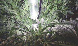 Badania na temat raka i medycznej marihuany, KonopiaLeczy.com