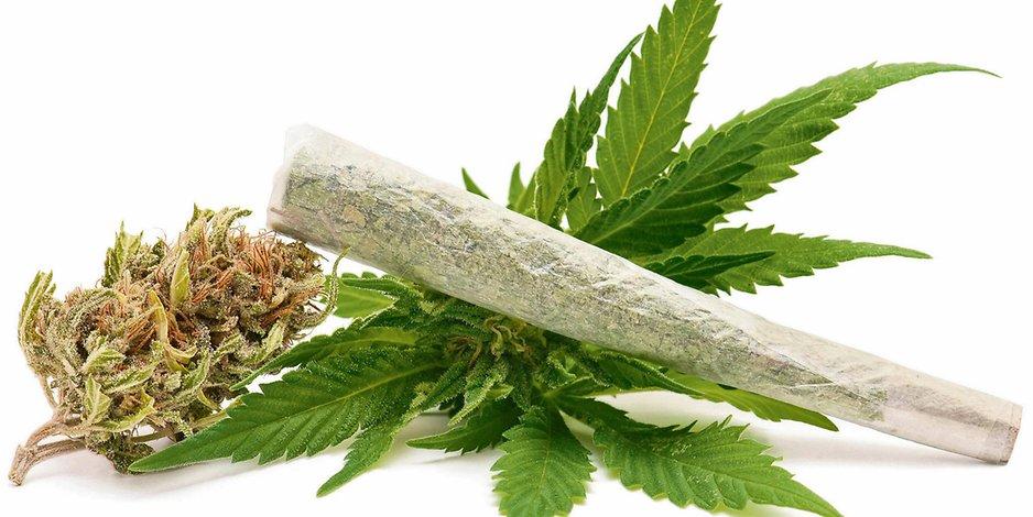 Poskręcane liście roślin marihuany, KonopiaLeczy.com