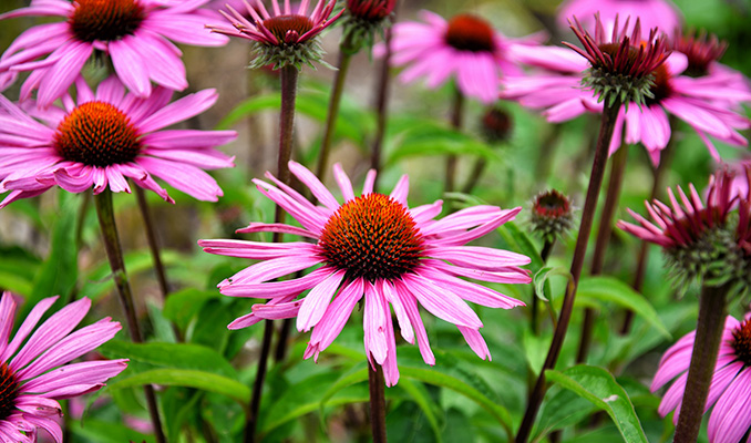 Czy inne rośliny posiadają kannabinoidy?, KonopiaLeczy.com