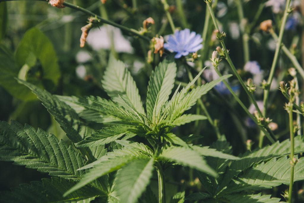 Marihuana na zredukowanie stresu, KonopiaLeczy.com