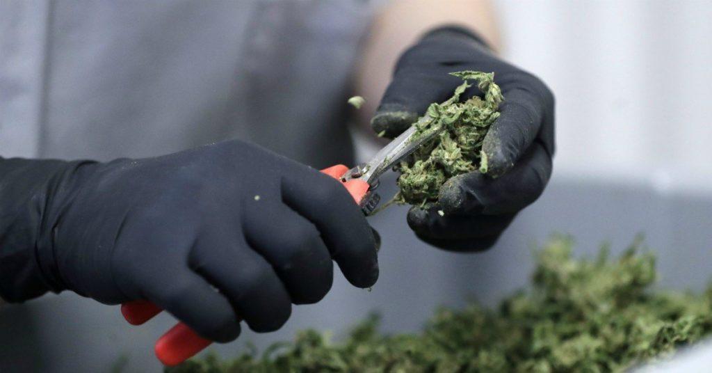 Wszystkie Zastosowania Marihuany Mają Działanie Lecznicze, KonopiaLeczy.com