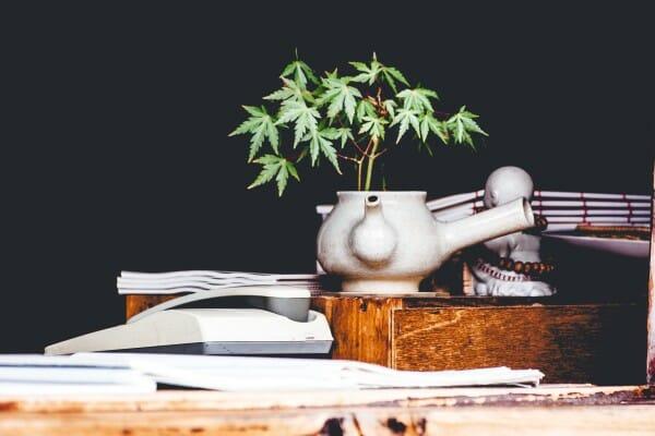 Wyciskanie Soku z Roślin Marihuany, KonopiaLeczy.com