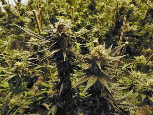 Określanie Płci Roślin Marihuany, KonopiaLeczy.com