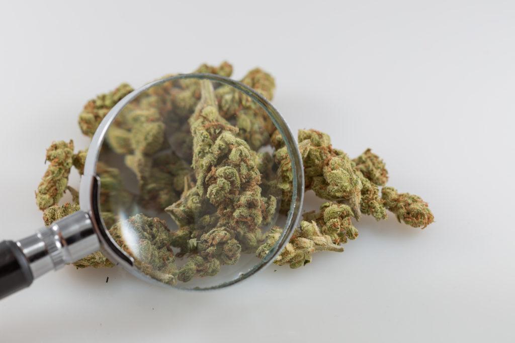 Problematyczne Używanie Marihuany Maleje, KonopiaLeczy.com