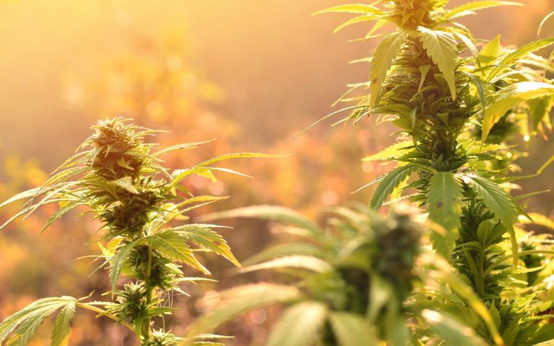 Różne Rodzaje Substratów Cannabis, KonopiaLeczy.com