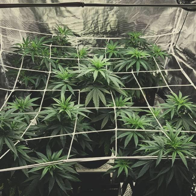 Skuteczne Sposoby Na Ukrycie Zapachu Marihuany, KonopiaLeczy.com